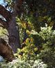 Quintral amarillo, Desmaria mutabilis parasitando un Coihue, Nothofagus dombeyi (Chilebosque) Tags: amarillo mutabilis loranthaceae quintral parásitas desmariamutabilis desmaria