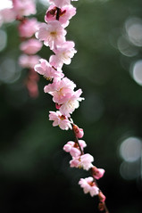 (myu-myu) Tags: flower nature japan nikon prunus  planart1450zf d300s