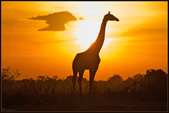 Welcome to the Mara.. (Joost N.) Tags: africa light sunset wild camp sun holiday silhouette clouds bush nikon kenya african wildlife safari mara afrika giraffe nikkor plains joost kenia masai safaris matira d700 notten joostnotten