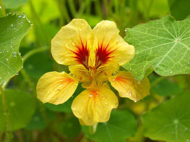 金蓮花-花