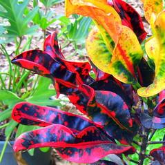 Croton (Sophie Hawke) Tags: red plant green yellow outdoors croton potted euphorbiaceae codiaeumvariegatum spiralleaf