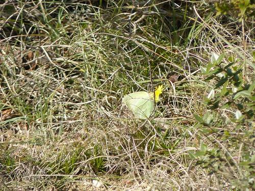 common brimstone on a dandelion