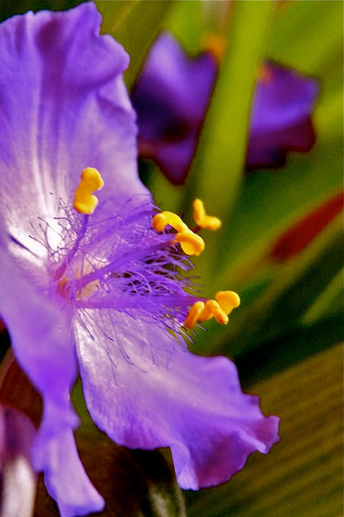 Purple Stamens...Safe!