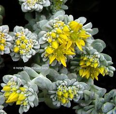 Sedum spathulifolium 'Cape Blanco (Kelley Macdonald) Tags: sedum sedumspathulifolium pacificstonecrop broadleafstonecrop sedumspathulifoliumcapeblanco