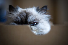 Got my eye on you (Kerrie McSnap) Tags: portrait pet cute eye animal cat furry nikon box blueeyes manky d60 himalayanpersian