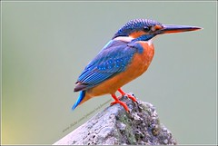 Common Kingfisher (Ericbronson's Photography) Tags: bird nature canon interesting singapore wildlife kingfisher common specanimal ericbronson mygearandme mygearandmepremium dblringexcellence tplringexcellence