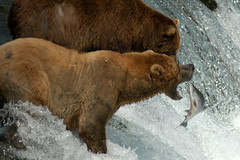 Look Before You Jump! (Dave Schreier) Tags: bear camp alaska dave fishing salmon grizzly brooks schreier