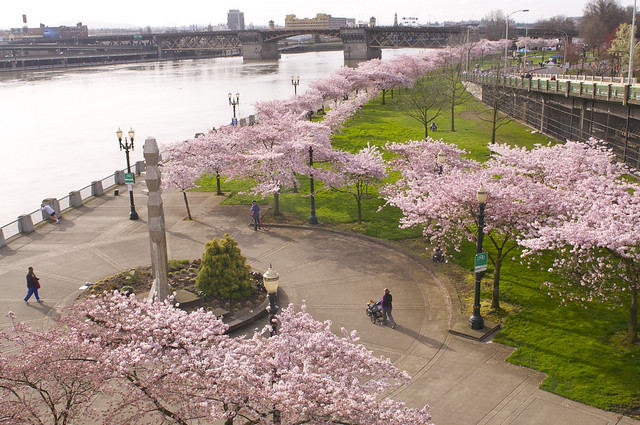 Cherry Blossoms ~ Tom McCall Waterfront Park