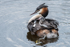 Great Crested Grebe (a3aanw) Tags: bird vogel jong fuut nikond800 nikonafsnikkor300mmf4difed