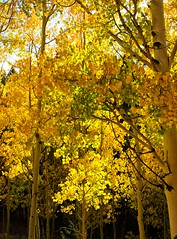 Aspen leaves turning gold in the Rocky Mountains of Colorado (Gail K E) Tags: colorado rockymountains usa aspens fall beautiful golden leaves glowing tellercounty