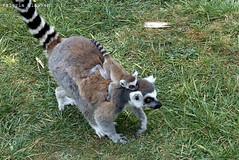 P1060276 (LaBonVampire) Tags: lemur animals nature leica leicalenses lumix