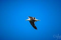 18092016DSC_1012.jpg (Ignacio Javier ( Nacho)) Tags: facebook gaviotas aves pginafotografia flickr faunayflora santander cantabria espaa es