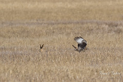 Red-tailed Hawk attacks Jackrabbit - Sequence - 5 of 8