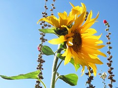 Twin Headed Sunflower 1 (Rakel78 - Rakel Leah Mogg) Tags: rakel leah mogg rakel78 twin headed sunnflower fall 2016