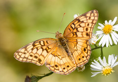 Variegated Fritillary (tresed47) Tags: 2016 201610oct 20161006chestercountymacro brandywinekardon butterflies canon7d chestercounty content folder fritilliary insects macro pennsylvania peterscamera petersphotos places takenby technical us variegatedfritllary ngc npc