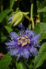 Magical flower (Steenjep) Tags: samos holiday ferie greece grkenland kokkari sun light shadow flower blomst macro closeup passionsblomst passiflora incense