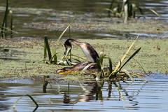 Great Crested Grebes (blachswan) Tags: water australia victoria mating ballarat greatcrestedgrebe podicepscristatus lakewendouree greatcrestedgrebes