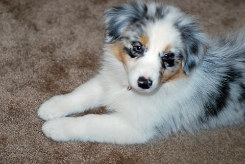 Puppy Prim