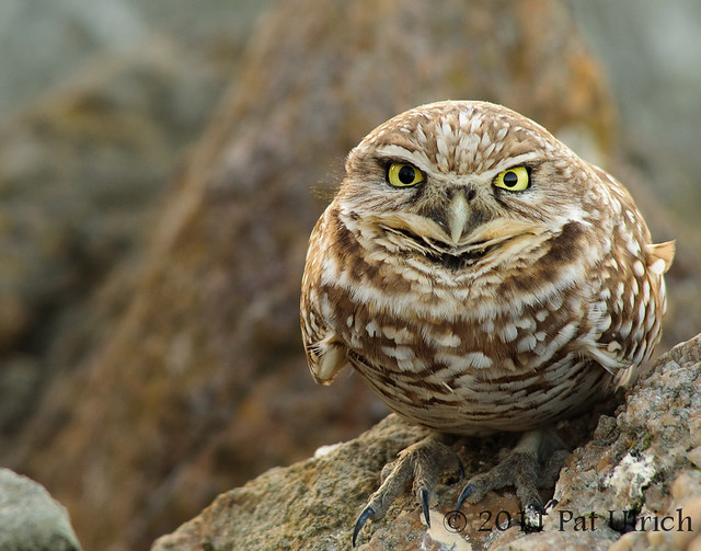 Western burrowing owl at the Berkeley Marina - Pat Ulrich Wildlife Photography