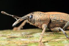 Besouro (carlos asanuma) Tags: macro natureza bugs insetos aranha macrophotography cantareira extrememacro besouro macrofotografia canon7d canonmpe65mmmacro carlosasanuma