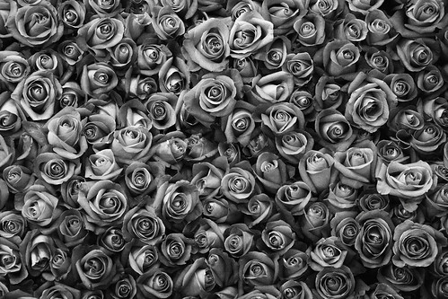 [フリー画像] 花・植物, バラ科, 薔薇・バラ, モノクロ写真, 201102030700