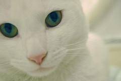 ~black diamonds~ (somanycupcakes) Tags: kitty greeneyes whitecat sebastien