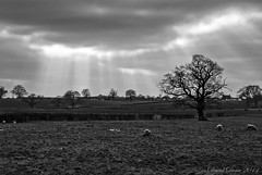 Sunbeams (jactoll) Tags: trees winter light bw white black tree landscape mono countryside oak nikon sheep nikkor 1001nights warwickshire vr sunbeams d60 studley blackwhitephotos warks 1685mm 1001nightsmagiccity mygearandme jactoll