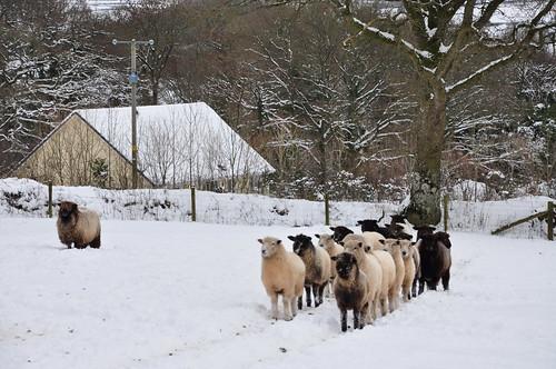 Sheep in Quad Bike Tracks