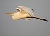 Sunset egret (v4vodka) Tags: white bird nature animal wings wildlife birding flight egret birdwatching greategret ardeaalba egretinflight czapla sunkenmeadowstatepark flyingegret czaplabiala
