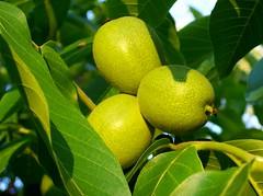 Echte Walnuss (Juglans regia) (happycat) Tags: tree green fruit germany j thringen jena grn frucht baum walnuss unreif juglansregia echtewalnuss unreifefrucht