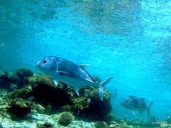 Bigeye trevally - Maldives