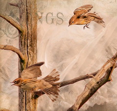Birds of love in texture (Nancy Violeta Velez) Tags: texture birds photography flickr sparrows philipdunn interesing phylumchordata passeridae contemporaryartsociety seedeaters memoriesbook tatot smallpasserinebirds shorttails gibrankalilgibran selectbestfavorites superfamilypasseroidea suborderpasseri nancyvioletavelez 365workwithtextures phiddy1sbirdsintexture theyalsoconsumesmallinsects songofthesoul alsoconsumesmallinsects powerfulbeaks tilthewordends threedognights