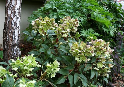 helleborus x sternii blooming