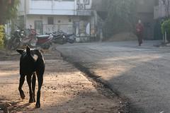 Seekers (Tom Spender) Tags: dog india maharashtra seeker pune osho sannyasin sannyas
