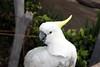 IMG_2317 kakaktua1ba (Luciana Adriyanto) Tags: travel bali bird animal indonesia parrot kakaktua tamansafaribali v1olet lucianaadriyanto
