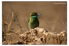 green beeater F (Lalwani Rajesh) Tags: bird beeater pcog greenbeeater