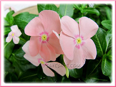 Catharanthus roseus (Cape Periwinkle), a lovely light-pink variety