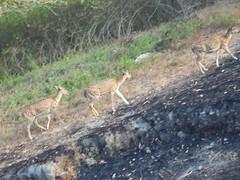deer (travellersai) Tags: kerala treehouse wayanad teaestate wildboar bandipur chital vythri banasuradam soojiparafalls streamvalleyresorts