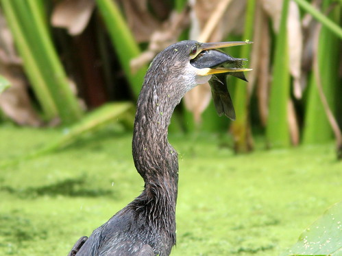 Anhinga with trophy 6-20110220