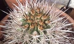 Eriosyce subgibbosa ssp clavata (bramwellii) Tags: eriosyce clavata subgibbosa jardindecactusdetoledo colprivfelixloarte