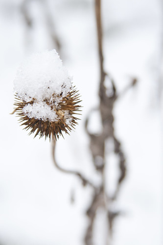 Snow on Echinacea purpurea