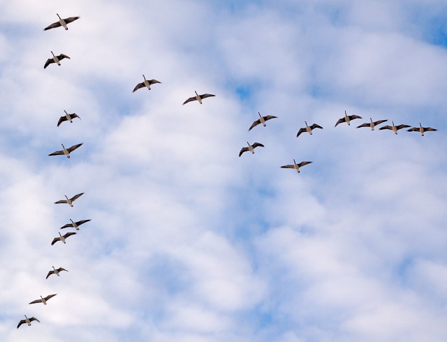 Willmore Park, in Saint Louis, Missouri, USA - geese flying overhead 2
