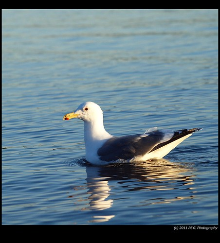 Unidentified Gull (Larus spp.)