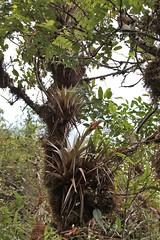 Tillandsia turneri (Bromeliaceae)