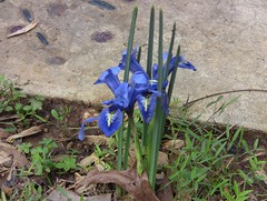 Blue miniature iris