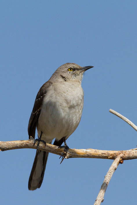 022311_mockingbird