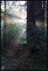 Redwood Cathedral (LifeLover4) Tags: california ca usa sun mist nature fog forest sunrise canon outdoors oakland hiking canyon hike redwoods rays sunrays circularpolarizer pinehurst ebrpd sequoiasempervirens efs1022mmf3545usm 550d t2i crepusculars onearthnrdc ebparksok sanleandrocreek lifelover4 stickneydesign californiatnc11