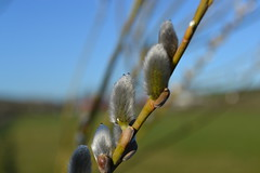 osier willow catkin (conall..) Tags: willow northernireland catkins osier salixviminalis conallmccaughey