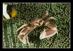 Porcelain Crab 05 (hloc) Tags: scubadiving similanisland
