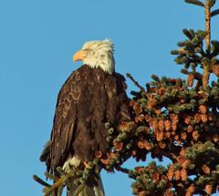 American Bald Eagle (julesnene) Tags: alaska landsend homer haliaeetusleucocephalus nationalbird americanbaldeagle homerspit migratorybird julesnene juliasumangil accipitridaefamily